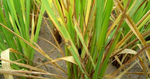 水稻根的初生结构图