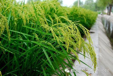 在这个时期水稻生长发育迅速增大