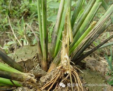 水稻分蘖角度矢量图