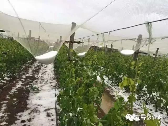 又一场冰雹偷袭云南,葡萄灾后注意事项