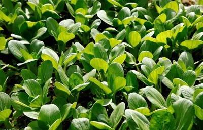 常见植物细菌病害及常用的杀细菌剂