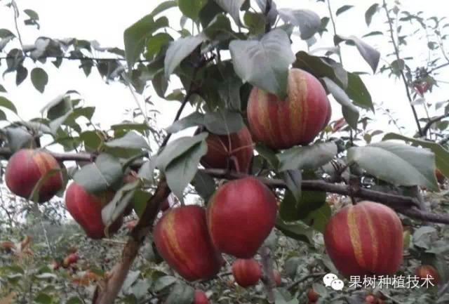 果树促花促果新技术