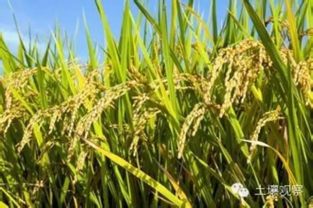 【研究】科学家在土壤-植物系统砷污染控制研究中取得进展