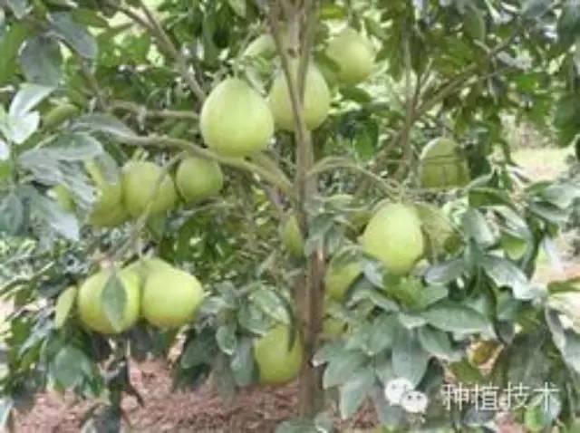 防治柚树病虫害是保证蜜柚增产的一项重要