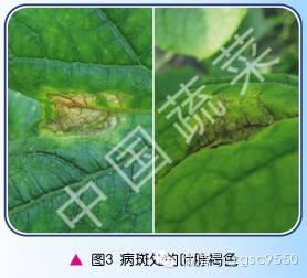 招 黄瓜细菌性流胶病如何防治图片