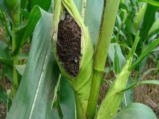 近期雨水偏多,谨防玉米瘤黑粉病!