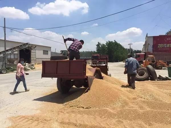 新麦80%不符合国家收购标准,麦农亏损成定局,一年收入恐难保!