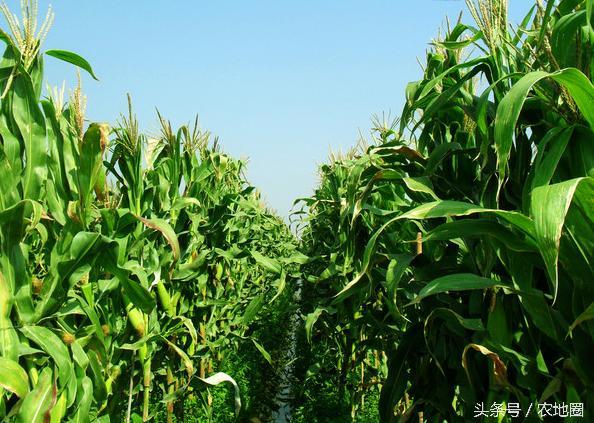 玉米价格至少低迷三年!明年玉米面积将减少1000万亩以上?