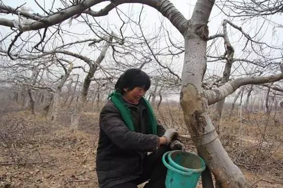 园冬季防病�z(_冬季果树如何过冬?果树\