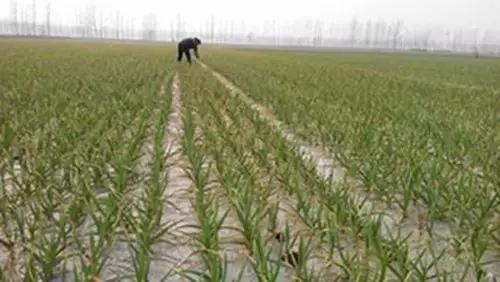 大蒜田常用除草剂品种及药害的主要原因
