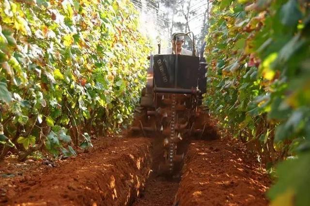 请注意葡萄地里用有机肥误区很多,千万不要小心