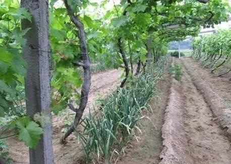 葡萄和大蒜的套种