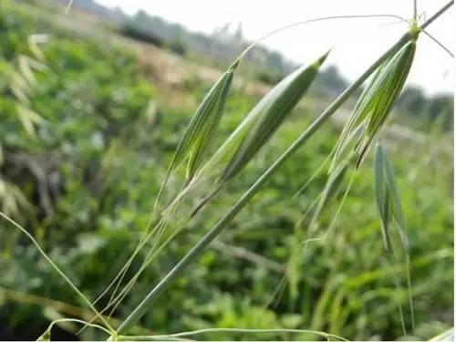怎么区分麦田的野麦子?