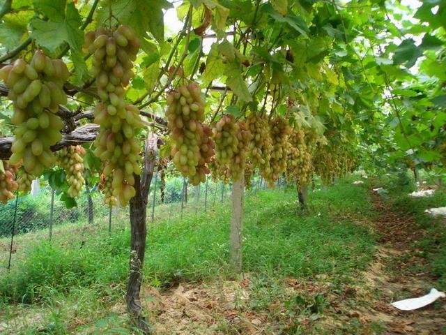 葡萄栽培中存在的问题及对策