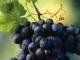 葡萄的秘密