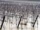 暴雨对葡萄的影响及应对措施