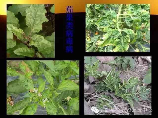 三分钟识别常见蔬菜病虫害(图文并茂)