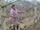 保护地葡萄利用石灰氮破眠应该注意的问题