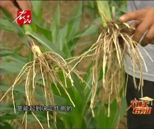 玉米割苗以后为什么会增产