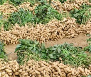 中国碳氢农业、碳氢核肥系列科普知识【花生篇】