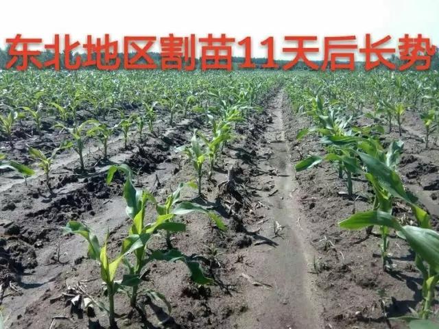 盘古玉米割苗技术示范田面积2017年有望突破十万亩
