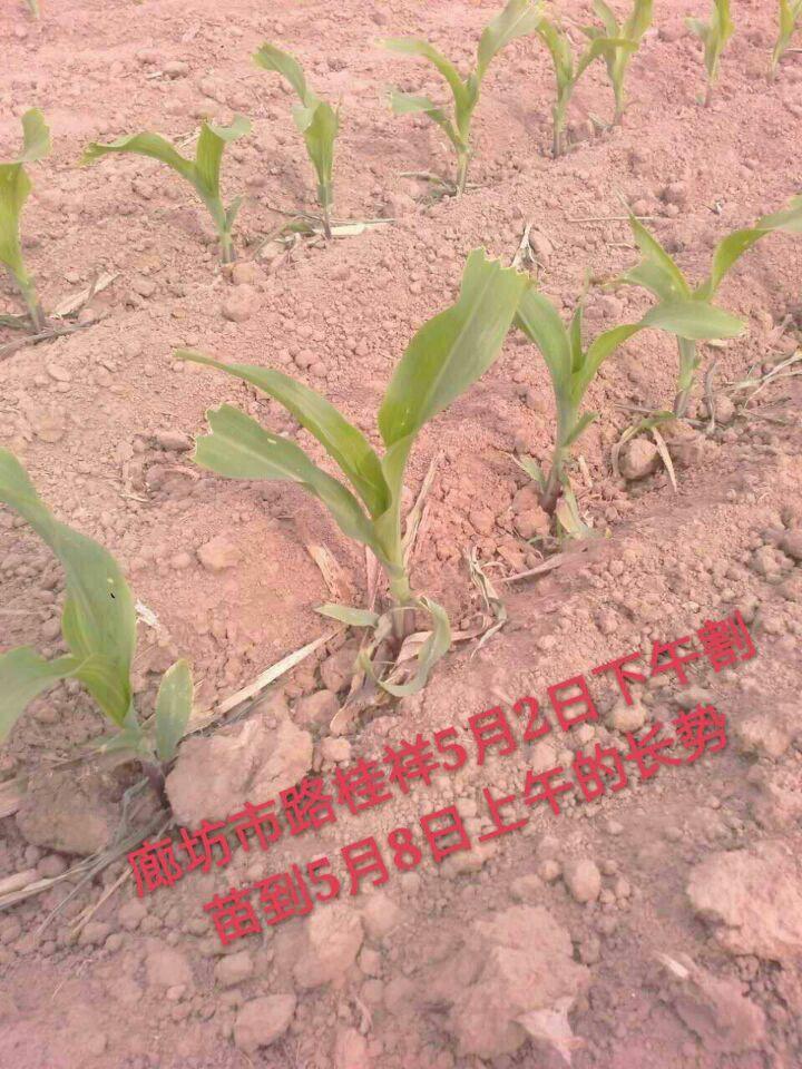 """盘古玉米割苗技术获""""大户""""青睐!这次是3000亩"""