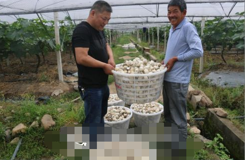 改良土壤杀菌防虫害 葡萄园里套种大蒜