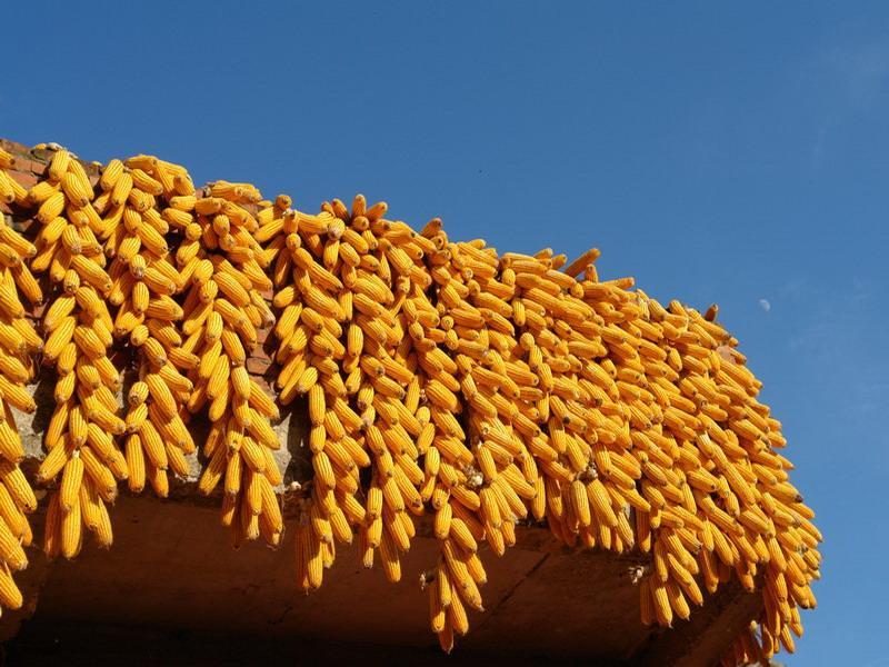 立足抗旱夺丰收,玉米种植因地制宜才能实现高产