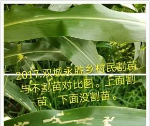 割苗后的玉米长成啥样了?今年试验的种植户发来了图片