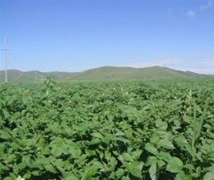 内蒙古马铃薯产量大逆袭,农民都乐坏了