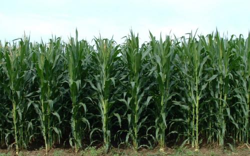 高价玉米按个卖,农户靠它年入十余万?