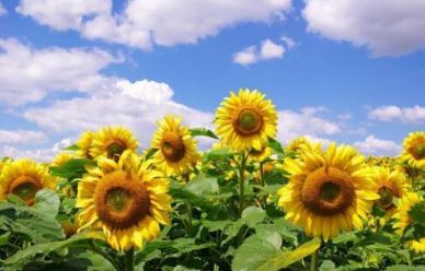 """能""""吃掉""""土壤中100多种农药残留的几种神奇植物"""