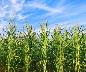 土壤墒情和播种深度之间的关系你知道吗?直接影响玉米产量!
