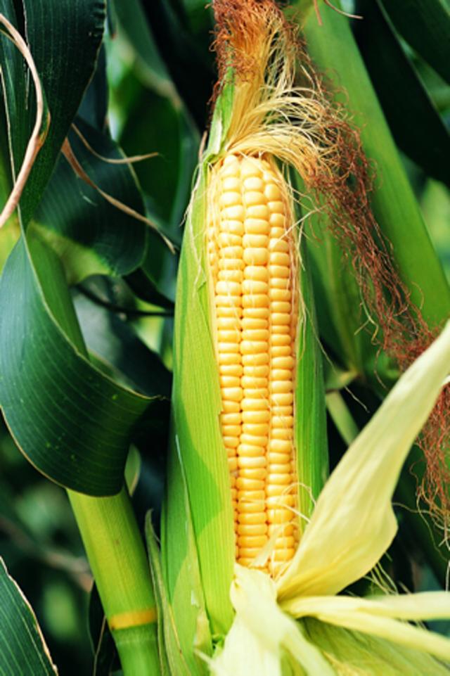 2018年玉米价格走势如何,专家全面分析讲对策