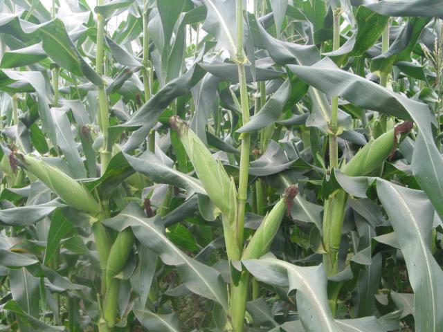 玉米又要涨价了,种玉米的农民这次真的乐开花了