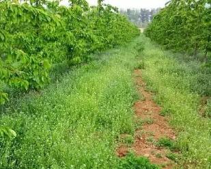 利用果园生草提高土壤中有机质含量