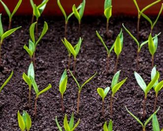 老棚室土壤一般存在三个土壤问题您知道吗