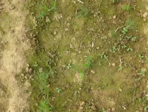 土壤长绿苔,千万别小视