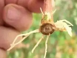 直接使用生粪对土壤造成的危害