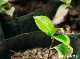 生石灰还有如此功效?解决土壤酸化、防治土传病害!