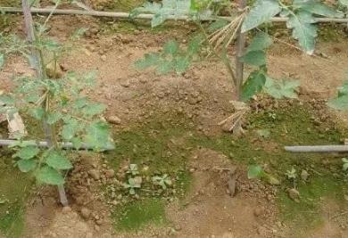 """土壤出现青苔盐渍化严重,土壤着""""彩装""""怎么办?"""