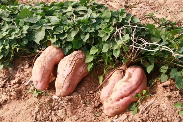 碳氢科学1200问之014组:从碳氢土豆红薯碳氢山药芋头