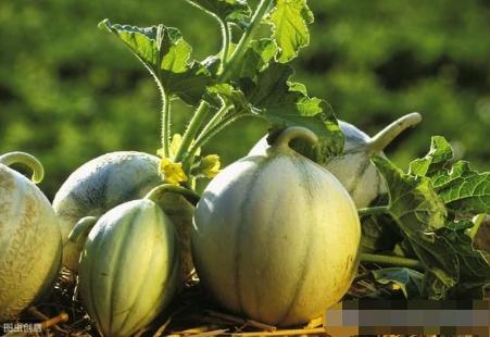 西甜瓜土壤的调理和改良