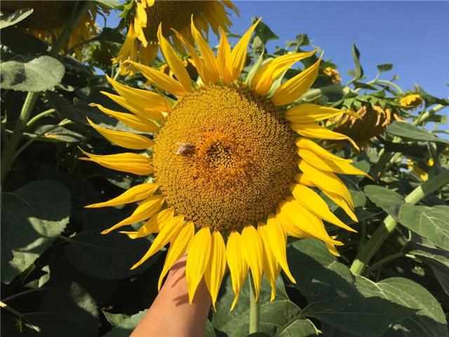 重磅:新疆20000亩葵花防列当重茬大获成功!