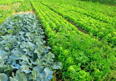 在农村种菜,菜地土壤板结是什么原因?如何解决这个问题?