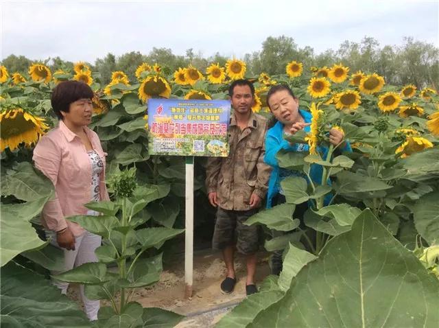 重磅消息:成都华宏传捷报,助力新疆福海2800亩食葵喜获丰收!