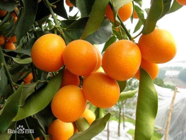 柳州•融安金桔:香脆滋味 甜蜜到胃