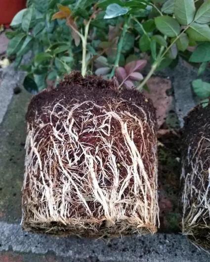 根是植物的命,抓住这几点,根系粗壮、四通发达