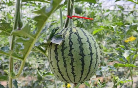 因为施用了农用酵素,今年的西瓜倍儿甜,采摘期可持续至7月!