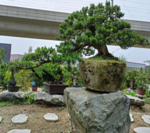 成都兰妹苑:推广川派盆景艺术,打造川派盆景文化产业